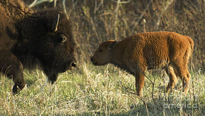 Bison Photograph - Nose To Nose by Bob Christopher
