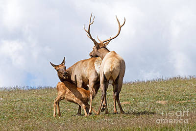 Photograph - Not Now Juniors Hungry Wapiti Elk Rocky Mountain National Park by Fred Stearns
