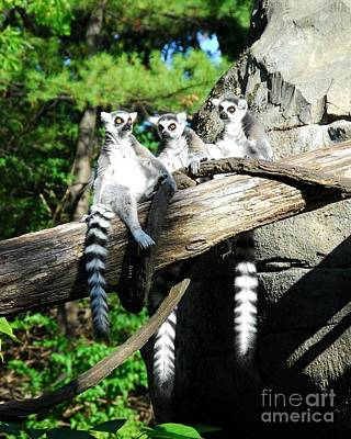 Ring-tailed Lemur Photograph - Not Polite To Stare by Mel Steinhauer