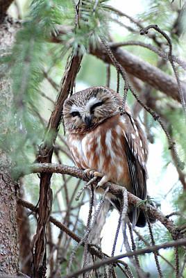 Northern Saw-whet Owl 2 Art Print