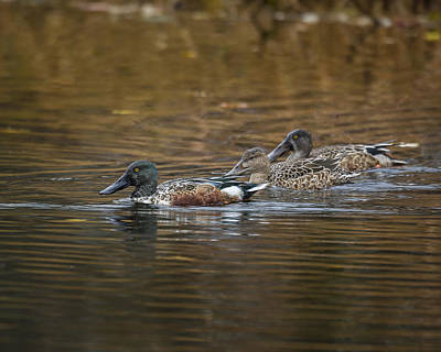 Photograph - Northern Shoveler Family by Jack R Perry