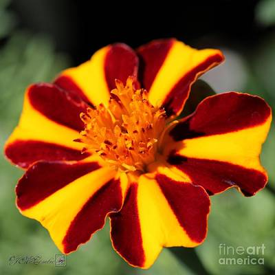 Photograph - Novelty French Marigold Named Mr. Majestic by J McCombie