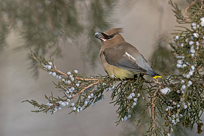 Cedar Waxwing Photograph - November Feast by Sandy Sisti