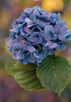 Purple Hydrangeas Photograph - November Hydrangea by Angie Vogel