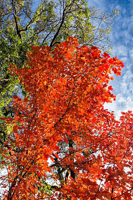 Photograph - November Maple by Kathleen Bishop