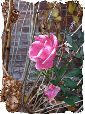 Photograph - November Rose by Margie Avellino