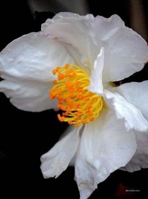 Photograph - November's White Camelia by Maria Urso