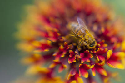 Photograph - Now Rare Honey Bee 3 by Scott Campbell