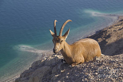 Nubain Ibex Ein Gedi Dead Sea Israel Original by Rita Kapitulski