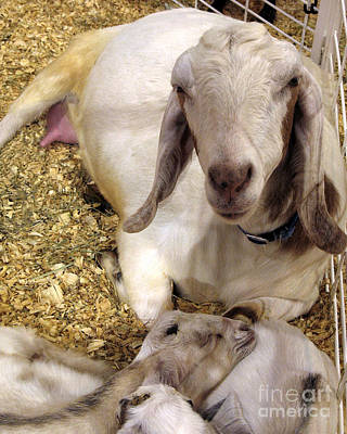 Photograph - Nubian Goat And Her Sleeping Kids by Connie Fox
