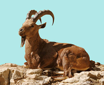 Photograph - Nubian Ibex by DiDi Higginbotham