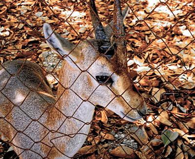 Nubian Ibex Juvenile Original