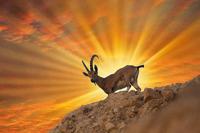 Burning Money Photograph - Nubian Ibex On Top Of Ein Gedi by Doc Braham