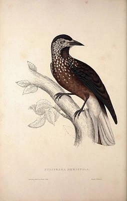 Exotic Drawing - Nucifraga Hemispila, Himalayan Nutcracker. Birds by Quint Lox