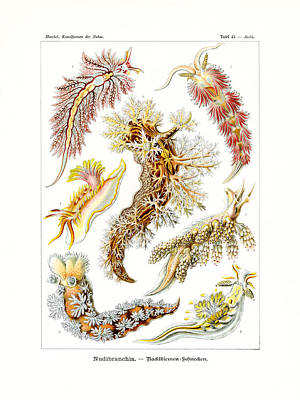 Nudibranchia Art Print