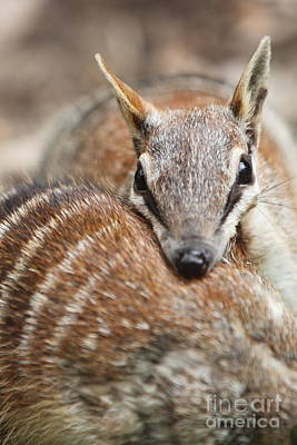 Numbats Art Print by Craig Dingle