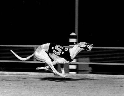 Greyhound Photograph - Number 5 Flys Down The Stretch by Retro Images Archive