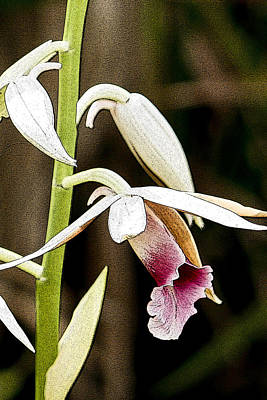 Photograph - Nun's Orchid by Jonah Gibson