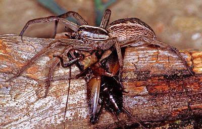 Photograph - Nursery Web Spider by Millard H. Sharp