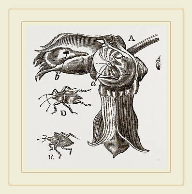 Nut And Apple-tree Weevils Print by Litz Collection
