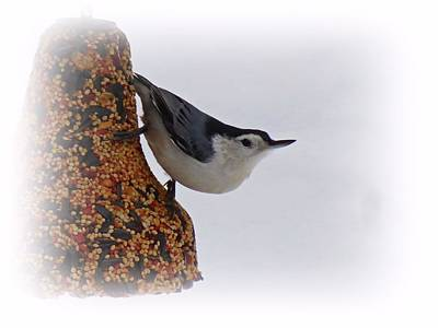 Photograph - Nuthatch Bell by MTBobbins Photography