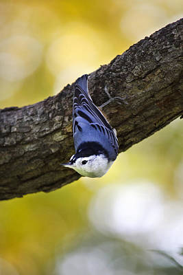 Photograph - Nuthatch by Christina Rollo