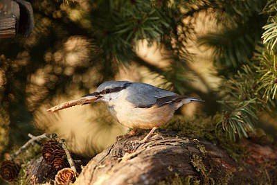 Dappled Light Photograph - Nuthatch Collecting Nesting Material by Izzy Standbridge