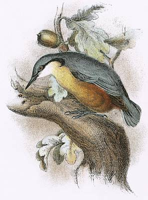 Nuthatch Photograph - Nuthatch by English School