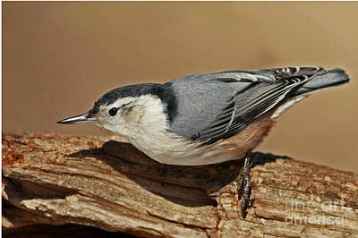 Nuthatch Gathering Insects From A Tree In The Forest Art Print by Inspired Nature Photography Fine Art Photography