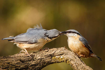 Nuthatch Gives Gift Of Flies To His Missus Art Print