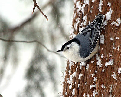 Nuthatch In Snow Storm Art Print by Paula Guttilla