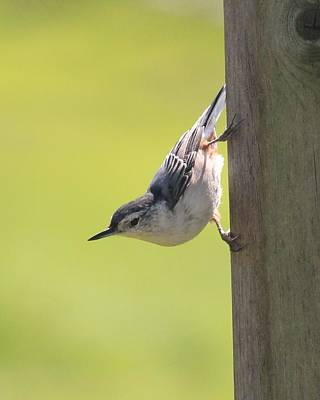 Photograph - Nuthatch by Lucinda VanVleck