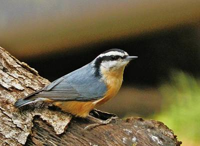 Photograph - Nuthatch Pose by VLee Watson