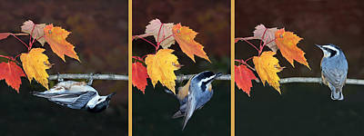 Photograph - Nuthatch Sequence by Leda Robertson