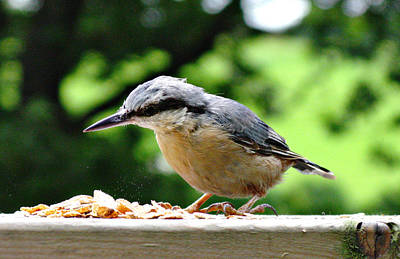 Photograph - Nuthatch by Tom Conway