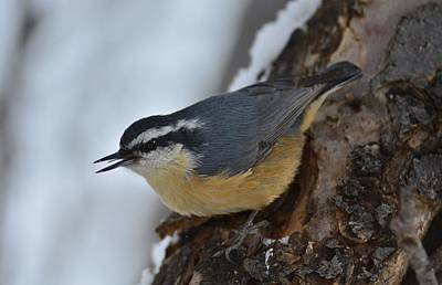 Photograph - Nuthatch-treeopenmouth by Rae Ann  M Garrett