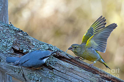 Pinion Photograph - Nuthatch Vs Greenfinch by Torbjorn Swenelius