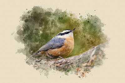 Woodland Mixed Media - Nuthatch Watercolor Art by Christina Rollo
