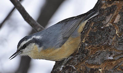 Photograph - nuthatch-wintersideP2 by Rae Ann  M Garrett