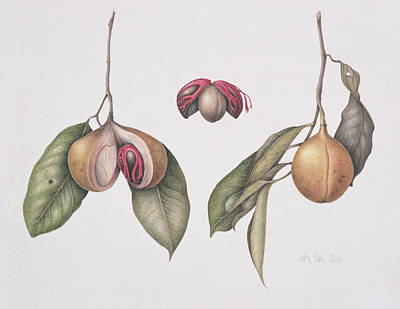 Ripe Drawing - Nutmeg  by Margaret Ann Eden