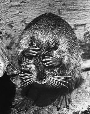 Photograph - Nutria Covering Its Eyes by Jeanne White