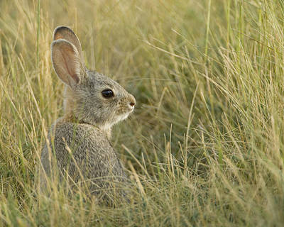 Nuttalls Cottontail, Sylvilagus Art Print by Grambo Photography and Design Inc.