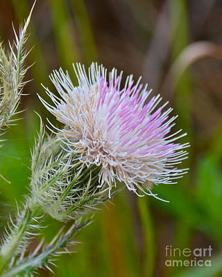 Photograph - Nuttall's Thistle by Carol  Bradley