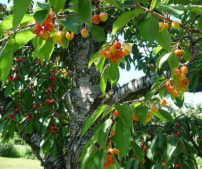 Photograph - Cherry Tree  by Jodie Marie Anne Richardson Traugott          aka jm-ART