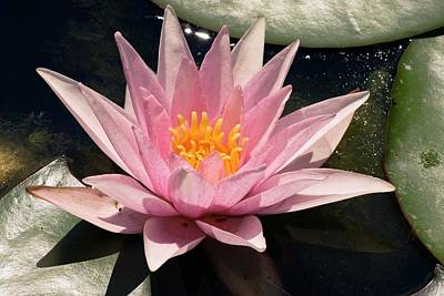 Waterlily Photograph - Nymphaea 'amabilis' by Adrian Thomas