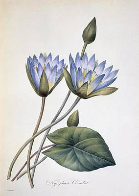 Nymphaea Caerula, 19th Century Art Print