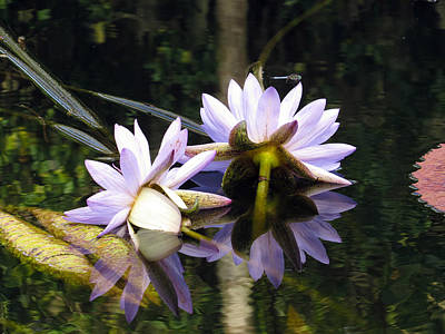 Floral Photograph - Nymphaea Colorata. Water Lilies by Zina Stromberg