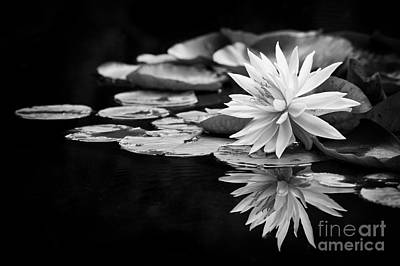 White Water Lilies Photograph - Nymphaea Maria by Tim Gainey