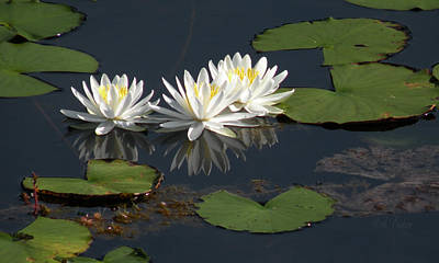 Photograph - Nymphaea Odorata - Fragrant White Waterlilies by Becky Erickson