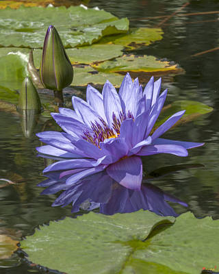 Photograph - Nymphaea Water Lily Dthb1633 by Gerry Gantt